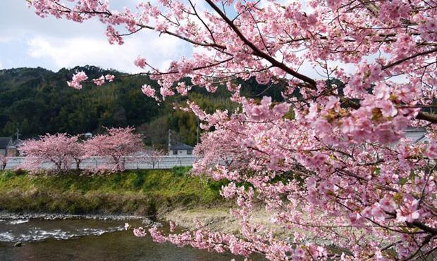 伊豆の早咲き桜!